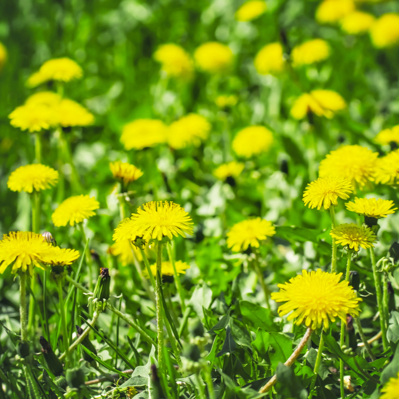 Your 2020 lawn care checklist should include weed control so you can keep dandelions out of your yard.