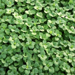 Keep chickweed out of your Utah lawn with spring lawn care services from Ferta-Lawn.