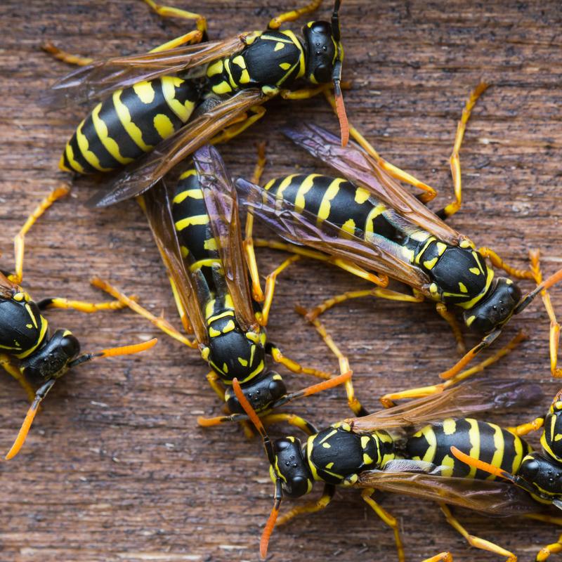 wasps on log