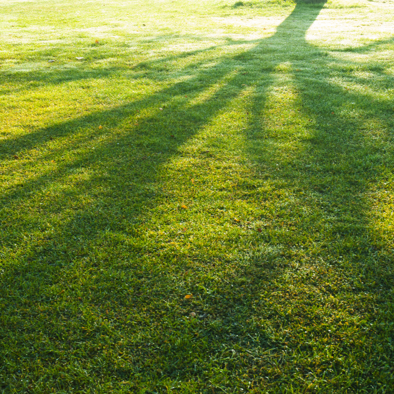 shadow of a tree