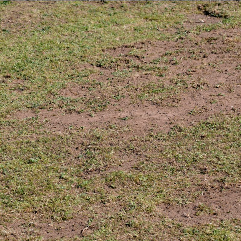 pest damaged lawn